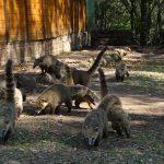 Quatis no Parque da Ferradura - Mapa de Gramado. Foto: Bárbara Keller